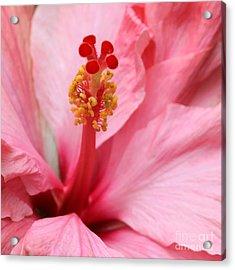 Hibiscus Flower Close Up Acrylic Print by Sabrina L Ryan