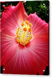 Hibiscus Highland  Acrylic Print