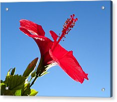 Hibiscus Hope Acrylic Print by Noreen HaCohen