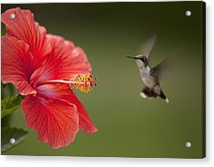 Hibiscus Hummingbird Acrylic Print by John Crothers