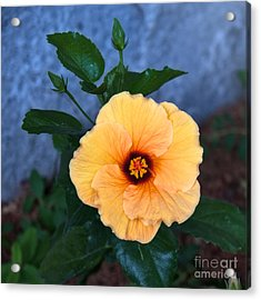 Hibiscus In Fading Light Acrylic Print
