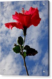 Hibiscus In The Sky Acrylic Print by Peter Mooyman