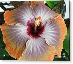 Hibiscus  Acrylic Print by Jennifer Wheatley Wolf