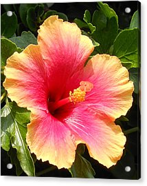 Hibiscus Acrylic Print by Kay Gilley