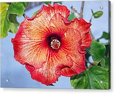 Hibiscus - Mahogany Star Flower Acrylic Print by Donna Proctor