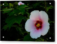 Hibiscus Mutabilis Flower Acrylic Print by Donald Chen