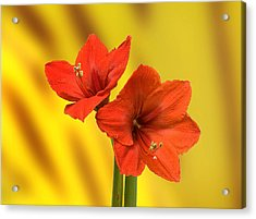 Hibiscus Red Acrylic Print by Bob Mulligan