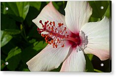 Acrylic Print featuring the photograph Hibiscus by Richard Stephen
