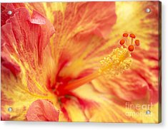 Hibiscus Acrylic Print by Tony Cordoza