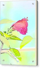Hibiscus Unbloomed Acrylic Print