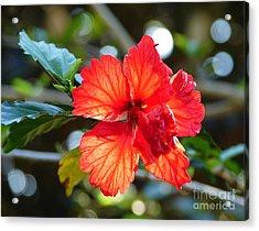 Hibiscus Veins Acrylic Print