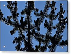 Hidden Bluejay In Silhouette Acrylic Print by Rich Rauenzahn