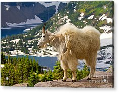Acrylic Print featuring the photograph Hidden Lake Goat by Aaron Whittemore