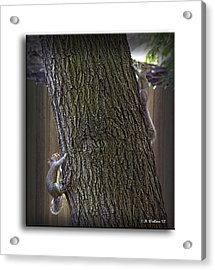 Hide And Seek Squirrels Acrylic Print by Brian Wallace