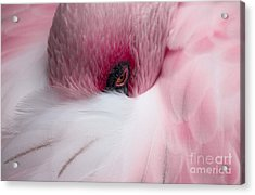 Hiding Flamingo Acrylic Print