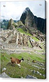 High Angle View Of Llama Lama Glama Acrylic Print