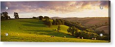 High Angle View Of Sheep Grazing Acrylic Print by Panoramic Images