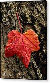 High Bush Cranberry Acrylic Print