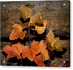 High Bush Cranberry Leaves Acrylic Print