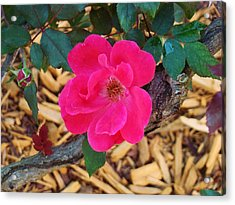 High Intensity Red Rose Acrylic Print by Van Ness
