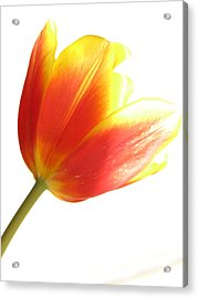 High-key Tulip Acrylic Print