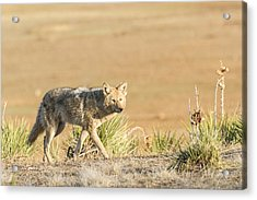 High Plains Coyote At Sunset Acrylic Print by Adam Pender