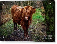 Highland Beast  Acrylic Print