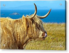 Highland Beauty Acrylic Print