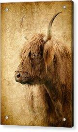 Highland Bull Acrylic Print