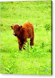 Highland Calf Acrylic Print by Dancingfire Brenda Morrell