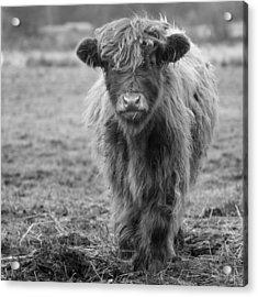 Highland Calf Acrylic Print by Sonya Lang