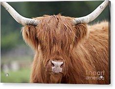 Highland Cattle Acrylic Print by Brandon Alms