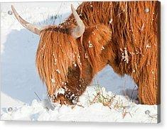 Highland Cattle Grazing Acrylic Print