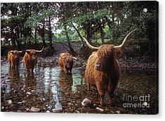 Highland Cattle In A Mountain Stream Acrylic Print