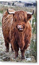 Highland Coo Acrylic Print by John Farnan