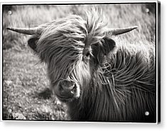 Highland Cow In The Outer Hebrides Of Scotland Acrylic Print by Adele Buttolph