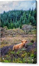 Highland Cow Acrylic Print by Adrian Evans