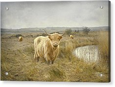 Acrylic Print featuring the photograph Highland Moo's by Roy  McPeak