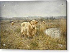 Highland Moo's Acrylic Print by Roy  McPeak