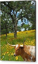 Hill Country Longhorn Acrylic Print by Robert Anschutz