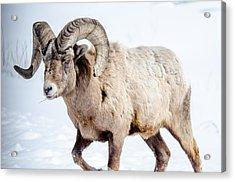 Big Horns On This Big Horn Sheep Acrylic Print