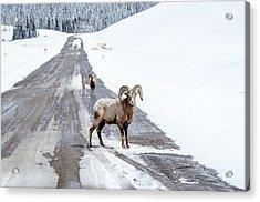 On The Road Again Big Horn Sheep  Acrylic Print