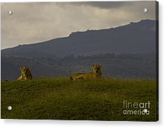 Acrylic Print featuring the photograph Hillside Lions by J L Woody Wooden