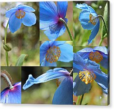 Himalayan Blue Poppy Collage Acrylic Print by Jennie Marie Schell