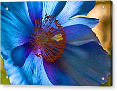 Himalayan Blue Poppy IIi Acrylic Print by Sabine Edrissi