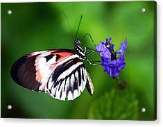 Hint Of Red Butterfly Acrylic Print
