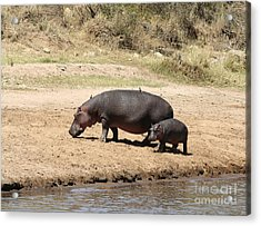 Hippo Mum And Calf Acrylic Print