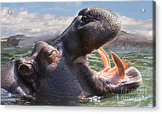 Hippo The Hippopotamus Opening His Mouth Acrylic Print by Jim Fitzpatrick