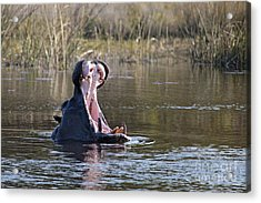 Acrylic Print featuring the photograph Hippo Yawning by Liz Leyden