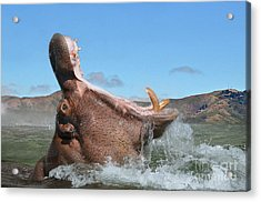 Hippopotamus Bursting Out Of The Water Acrylic Print by Jim Fitzpatrick